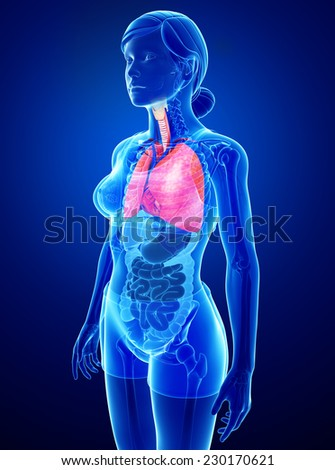Illustration of female lungs anatomy - stock photo