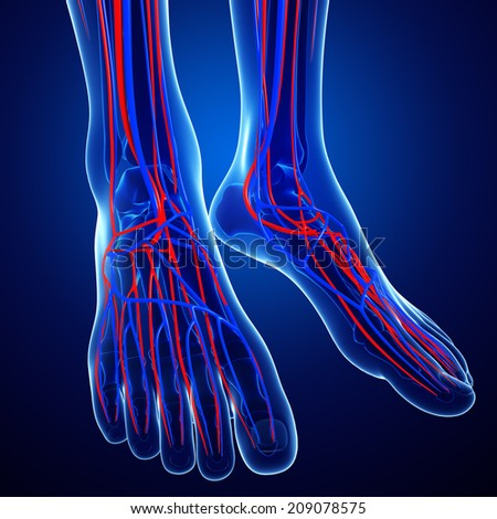 Illustration of Foot circulatory system - stock photo