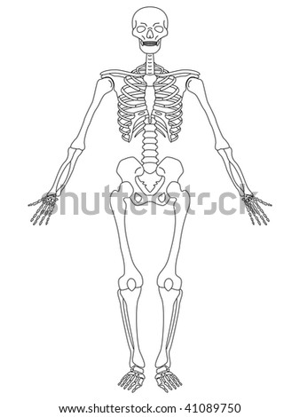 illustration of front view of male skeleton
