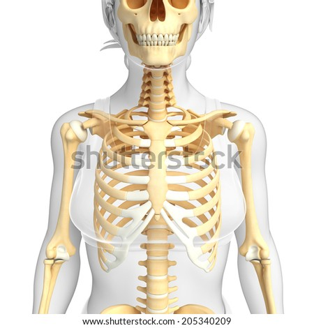 Neck Bone Stock Images Royalty Free Images Vectors Shutterstock