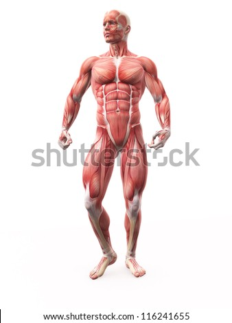 Illustration of Human Muscle Anatomy - stock photo