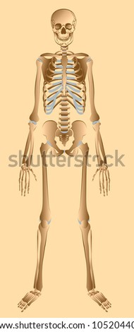 Illustration of human skeleton front view - stock photo