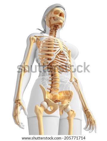 illustration human skeleton side view stock illustration 205771714, Skeleton