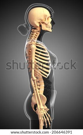 illustration human skeleton side view stock illustration 206643493, Skeleton