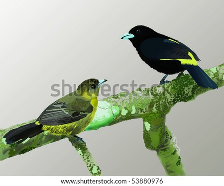 Illustration of male and female Lemon-Rumped Tanagers on moss and fungus covered branch - stock photo