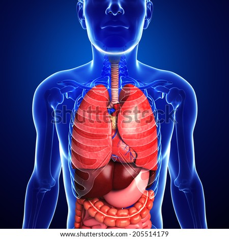 Illustration of male digestive system artwork - stock photo