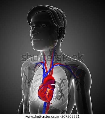 Illustration of Male heart anatomy - stock photo