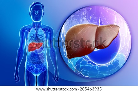 Illustration of male liver anatomy - stock photo
