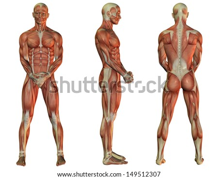 Illustration Male Muscle Structure When Standing Stock Illustration