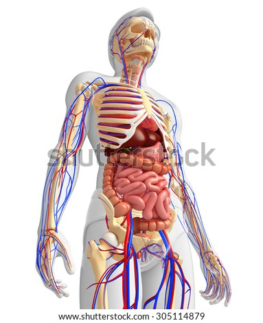 Illustration of male skeletal, digestive and circulatory system - stock photo