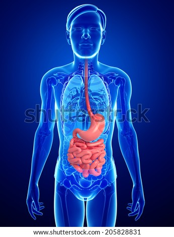 Illustration of male small intestine anatomy - stock photo
