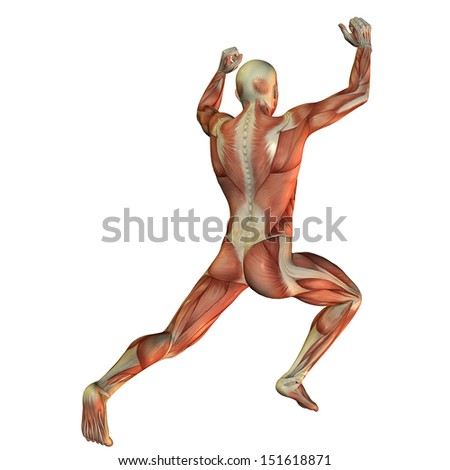 Illustration of muscle structure in a male weightlifter from behind