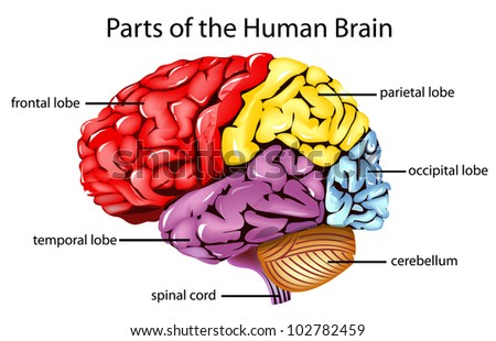 Illustration of parts of the brain - EPS VECTOR format also available in my portfolio. - stock photo