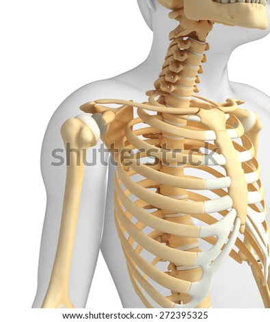 Illustration of shoulder skeleton - stock photo