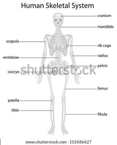 Illustration Skeletal System Labels Eps Vector Stock Illustration