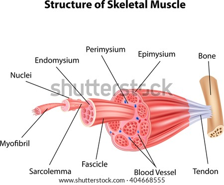 skeletal muscle stock images, royalty-free images & vectors, Muscles