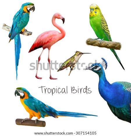 Illustration of tropical birds: parrots, peacock, green parrot, hummingbird, pink flamingo. Isolated on white background. - stock photo