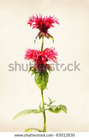 Illustration of watercolor bee balm on a vintage background - stock photo