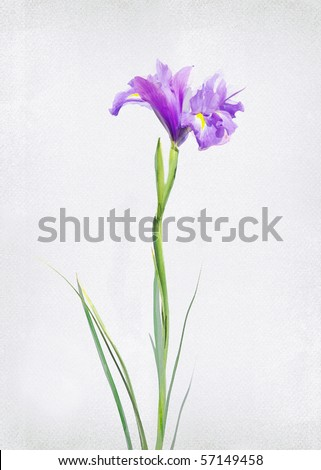 Illustration of watercolor iris on a vintage background - stock photo