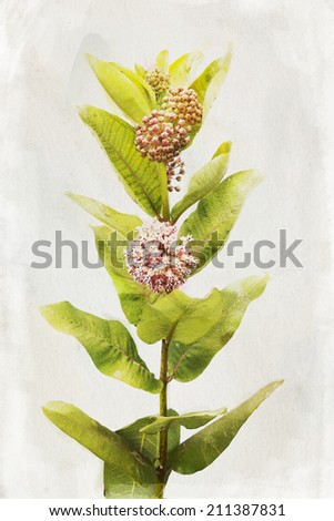 Illustration of watercolor Milkweed flowers on a vintage background  - stock photo