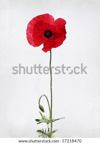 Illustration of watercolor poppy on a vintage background - stock photo