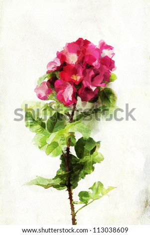 "Illustration of watercolor rose ""Robusta"" on a vintage background - stock photo"