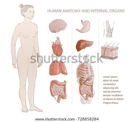Illustration Set Complete Chart Internal Human Stock Illustration ...