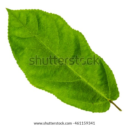 Image closeup of single serrated leaf with isolated white background