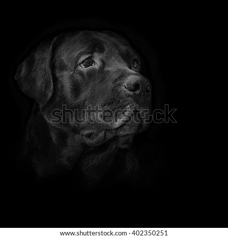 image dog breed black labrador - stock photo