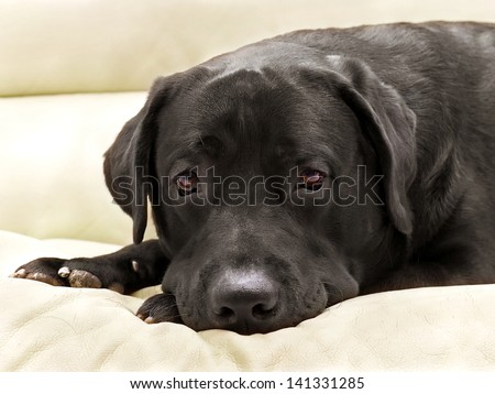 image dog breed black labrador close up