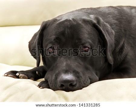 image dog breed black labrador close up - stock photo