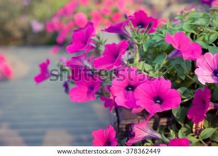 Image full of colourful petunia (Petunia hybrida) flowers  - stock photo