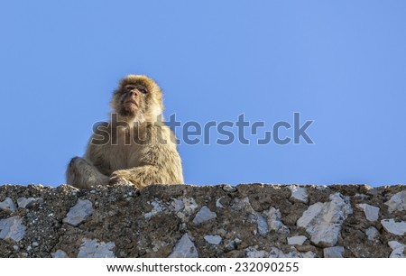 Image of a Barbary Macaque of Gibraltar siting on a rock fence against a blue sky. The apes from Gibraltar are the only wild monkey population in the European continent