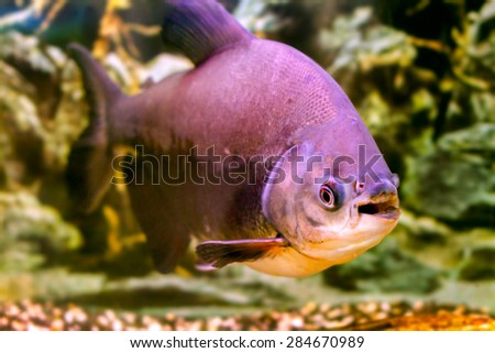 image of a beautiful aquarium fish black pacu - stock photo