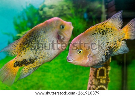 image of a beautiful aquarium fish Cichlasoma synspilumn - stock photo