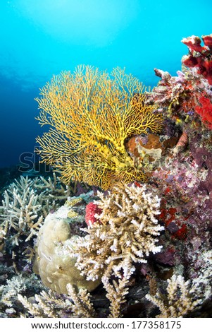 Image of a beautiful yellow sea fan on a reef covered with sponges and hard corals, shot in Fiji.  - stock photo