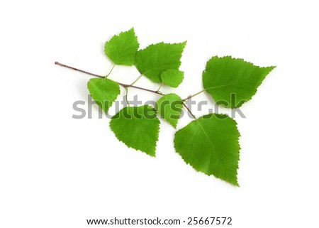 Image of a birch twig on a white background - stock photo