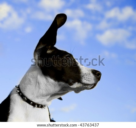 Image of a black and white dog with ear in air - stock photo