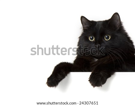 Image of a black cat on a white background - stock photo