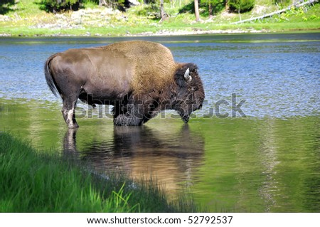 Image of a buffalo drinking water in a lake. - stock photo