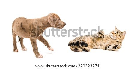 Image of a cat Scottish Straight frightened puppy pitbull  - stock photo
