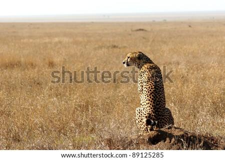Image of a cheetah in savanna looking away - stock photo