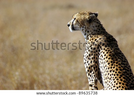 Image of a cheetah in the wild - stock photo