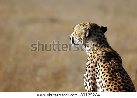 Image of a cheetah watching savanna - stock photo