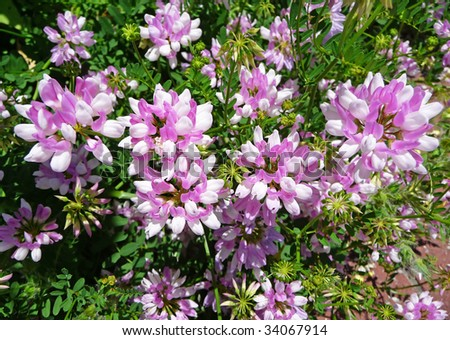 Image of a cluster of crown vetch (Coronilla varias) - stock photo