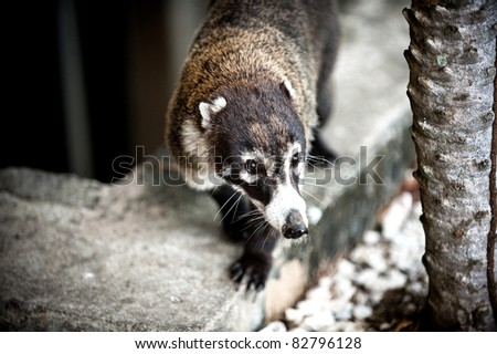 Image of a Coati in Costa Rica - stock photo