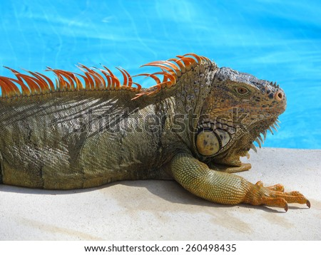 Image of a colorful iguana relaxing by the pool.