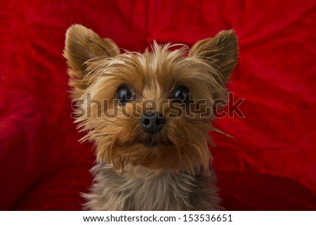 Image of a curious Yorkie on a red background - stock photo