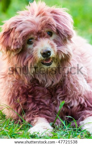 Image of a dog that is colored its hair - stock photo