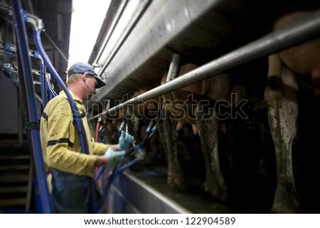 Image of a farmer attaching suction tube to cow. - stock photo